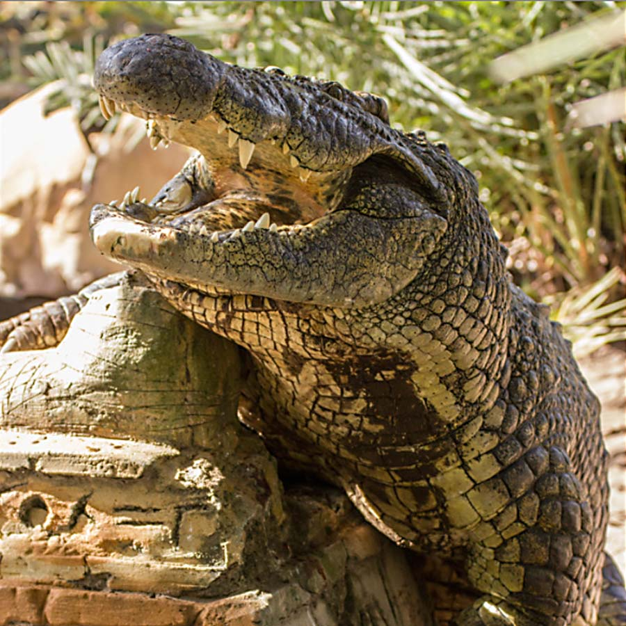 Crocodiles | Gatorland | Orlando Florida Family Adventure ...