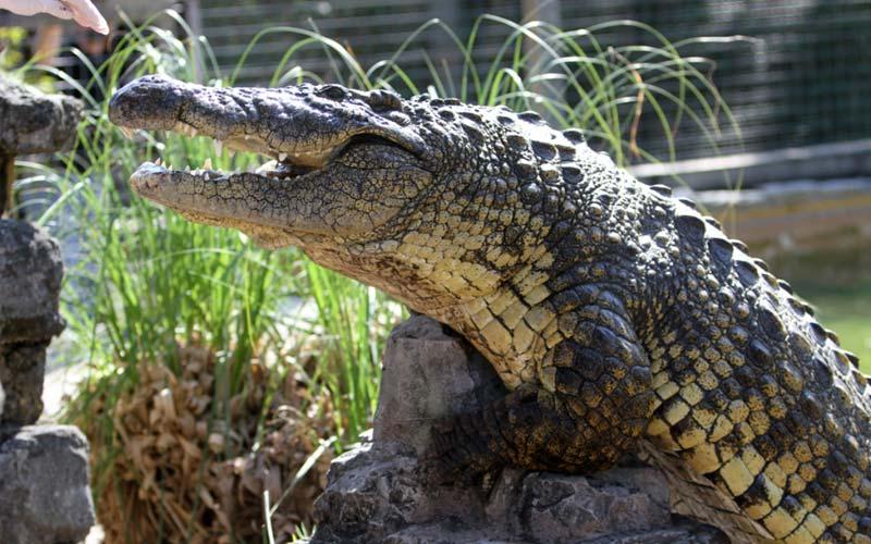 Crocodiles   Gatorland   Orlando Florida Family Adventure Theme Park