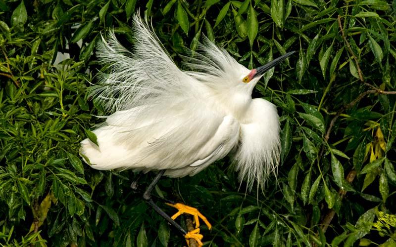 Snowy Egret | Gatorland | Orlando Florida Family Adventure Theme Park